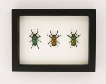 Stag Party Framed Insect Collection Display with Small Flaws