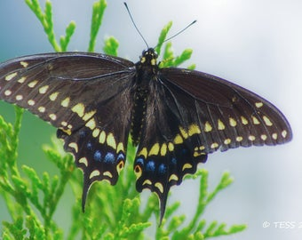 Butterfly Photo Print Or Photography Greeting Card - Swallowtail Butterfly Photo - Butterfly Greeting Card