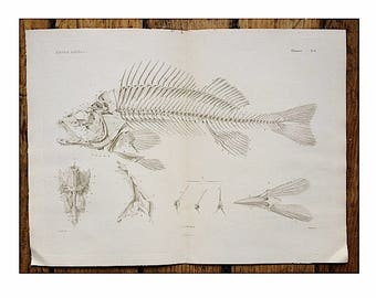 c. 1836 FISH ANATOMY - anatomy print original antique rare sea life ocean beach engraving - fish bones skeleton