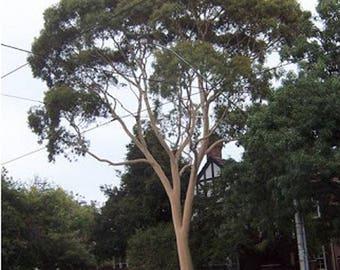 100 Lemon Scented Gum Tree Seeds, Eucalyptus Citrodora
