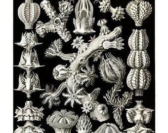 Ernst Haeckel's Vintage Artwork Gorgonida