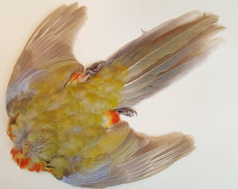 Real taxidermy dried skin crimson rosella