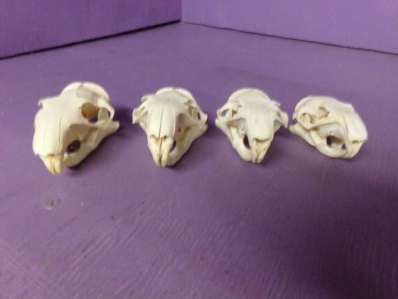 1 Real Bone Animal Prairie Dog Marmot Vermin Taxidermy
