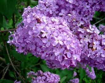 Pashalia seeds,512, spring  flower, greek seeds, greek flowers, gardening,summer in greece, greek island flower,