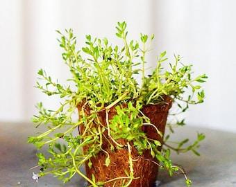 "Brahmi (Bacopa monnieri)  Live Plant Ships in 100% Biodegradable 4"" Coconut Fiber Planter"