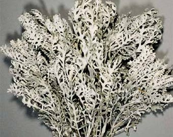 Dusty Miller, Dried dusty miller, dusty miller bunch