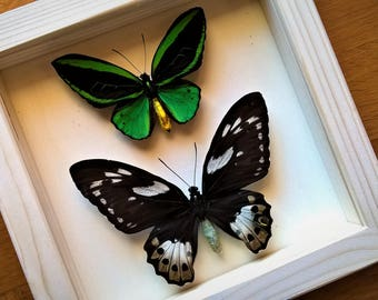 Real Ornithoptera Priamus Poseidon Pair From Arfak Framed - Taxidermy - Home Decoration - Collectibles