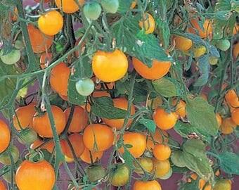 Tumbling Tom Yellow Cherry Tomato - 4 Plants