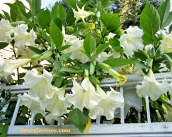 Brugmansia Kyles Giant White Angel Trumpet 10 seeds