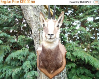 SALE 15% OFF Taxidermy mounted Chamois Head Mountain Goat
