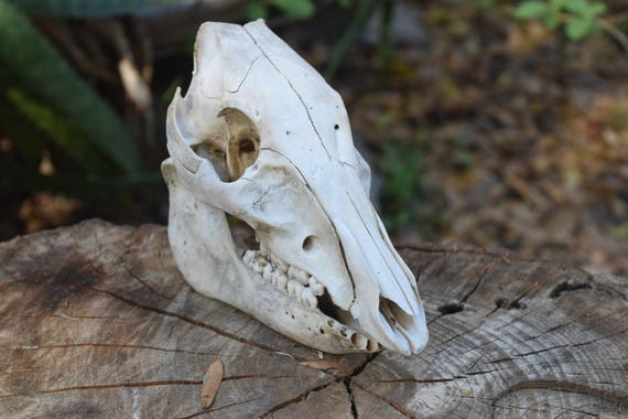 Boar Skull,  small Wild Boar skull whole, juvenile animal skull