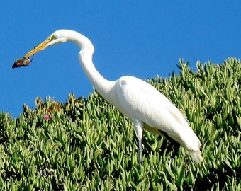 Giant White Egret eating a mouse.