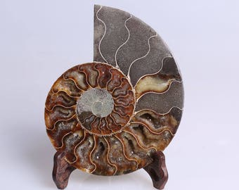 Split Ammonite Fossil Specimen Shell Healing Madagascar,Natural Home Decor+ Free Wenge Stand J510R