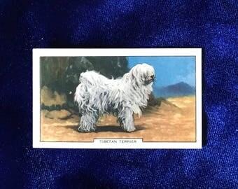 1938 Tibetan Terrier Dog Tobacco Card Gallaher Ltd. Christmas Gift!