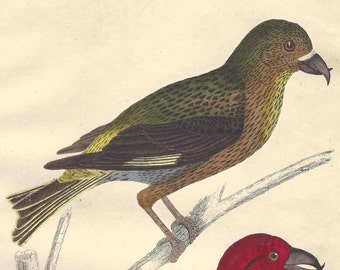 1850s Antique Hand Colored Bird Engraving Finch Ornithology Goldsmith Animated Nature