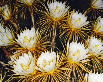 Floral Art.  Night Blooming Cereus. Fine Art Photography of Rare Cactus Flowers. Vintage Nature Photography. Saturated Color. Wall Decor.