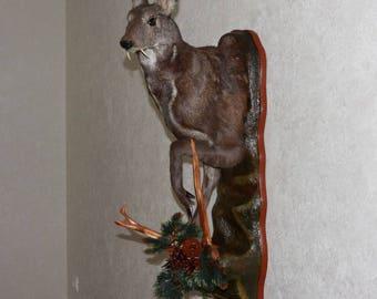 Siberian Musk Deer - Taxidermy Head Shoulder Mount, Stuffed Animal For Sale - Musk-Deer - ST3897