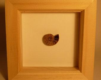 Framed Ammonite Fossil
