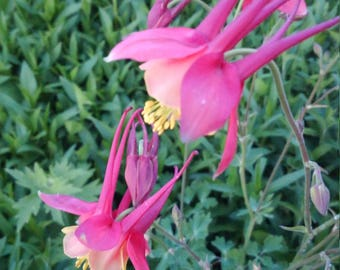 Rare Columbine Flower Seeds, Tequila Sunrise Columbine Flower Seeds, Columbine Seeds, FREE SHIPPING in the U.S.