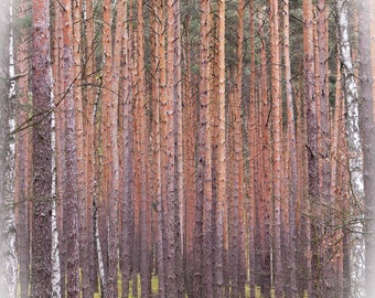 Photography of nature. Polish forests. Wall art. Polish photography. Polish art.