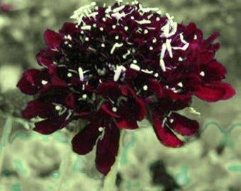 Scabiosa atropurpurea (Pincushion Flower) 25 Seeds
