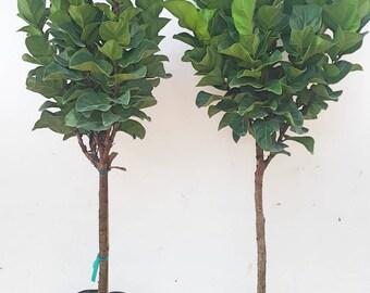 Live house plants | Etsy