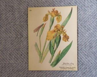 Genuine vintage framed botanical drawing, flower illustrations, print, floral, glass frame, double sided daffodils spring