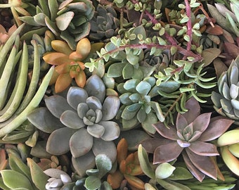 100 succulent cuttings to use in projects, or to plant in pots.