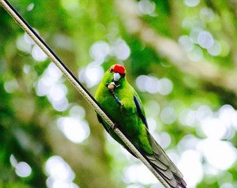 Red Crowned Kakariki New Zealand Bird photo