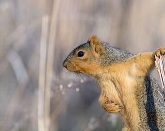 Posing Fox Squirrel