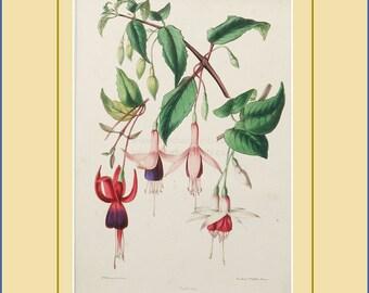 Fuchsias botanical print