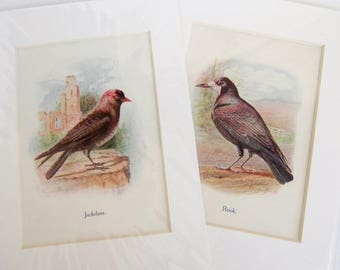 Two Vintage British Bird Prints to Frame - Jackdaw and Rook - 1910s Bird Illustrations - Pictures in Card Mounts