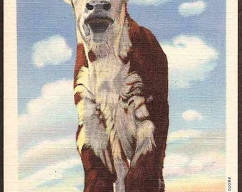 Texas Vintage Postcard - West Texas Dogie Motherless Baby Hereford Calf Cow Unused
