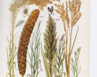 Millet plant botanical print - vintage book plate of wild, common, Japanese and foxtail millet - grain lover - bakers gift