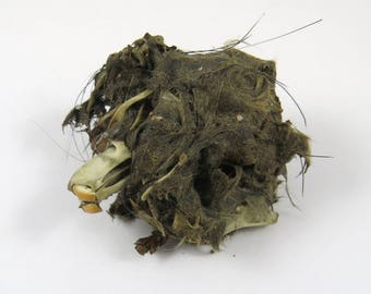 Owl Pellet to Dissect from Rodent Mouse Rat, Teeth, Fur Whiskers Bones, Creepy Specimen