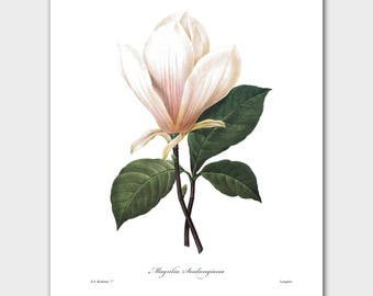 Magnolia Art Botanical, Classic Southern Decor (White Flower Wall Print) -- Pierre Redoute