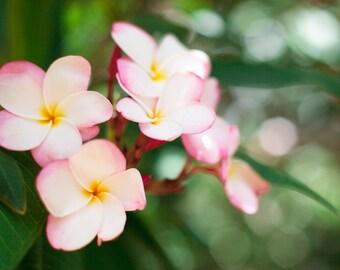 plumeria in watercolor: hawaiian flower photography