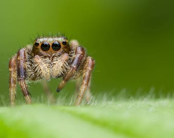 Digital Download: Jumping Spider #1 photo