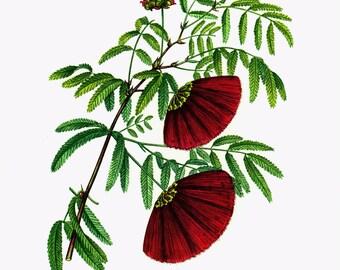 1967 Powder Puff Tree. Red Mimosa. Vintage Botanical Wall Art.