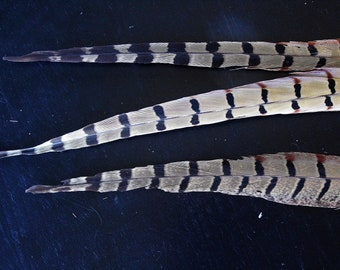 3 Ringneck Pheasant tail feathers