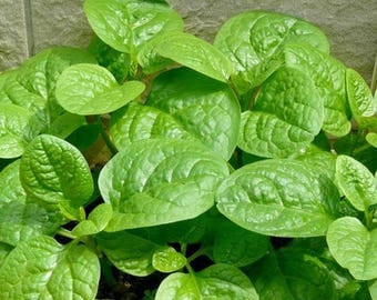 30 seeds MALABAR SPINACH