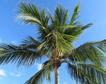 Aruba Palm Tree IX