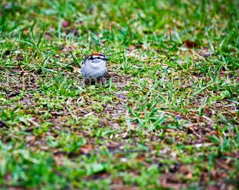 Sparrow Foraging in Grass 4; Bird Photography, Animal Photography, Nature Photography, Bird Art, Nature Print, Animal Art || PHYSICAL PRINT