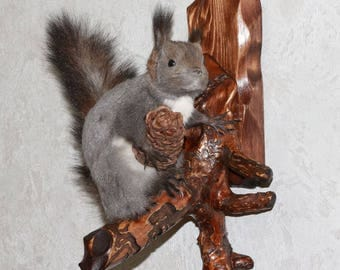 Siberian Grey Squirrel - Taxidermy Mount, Stuffed Animal For Sale - Gray Squirrel - ST3921