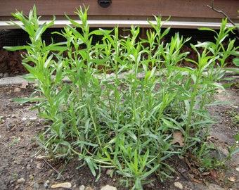 """TARRAGON (French) Live Plant - 2 Live Plants Fit 3.5"""" Pot"""