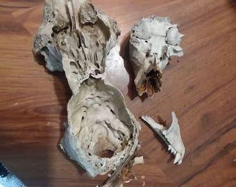misc. bone lot//part of deer skull and opossum jaw and skull//blackswamp ohio//foraged bones