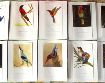 10 old engraving Board 1960's birds of paradise Paradisier Emerald Paradisaea minor - Lesser Bird of paradise Bee-eater Martin Fischer