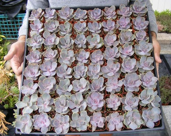 Set of 25 Purple Rosette succulents favor -Echeveria 'Perle von Nurnberg'