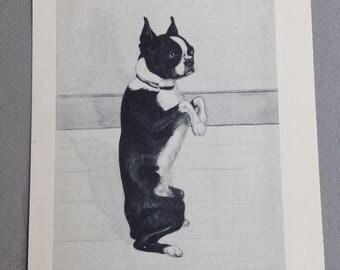 Vintage Boston Terrier Print by Marie C. Nichols c. 1935