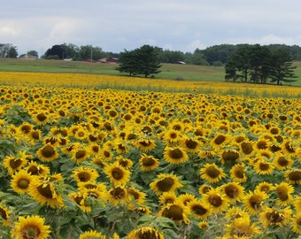 Field of a Million Sunflowers Tapestry